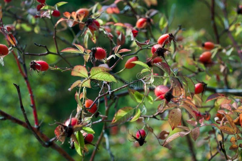 狗玫瑰莓果特写镜头  狗玫瑰色果子(罗莎canina) 狂放的野玫瑰果本质上 图库摄影