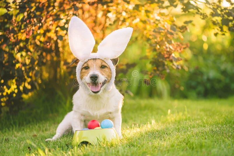 狗装饰与兔宝宝坐与的复活节庆祝的耳朵服装大喊五颜六色的被绘的鸡蛋在晴朗的草坪 免版税图库摄影
