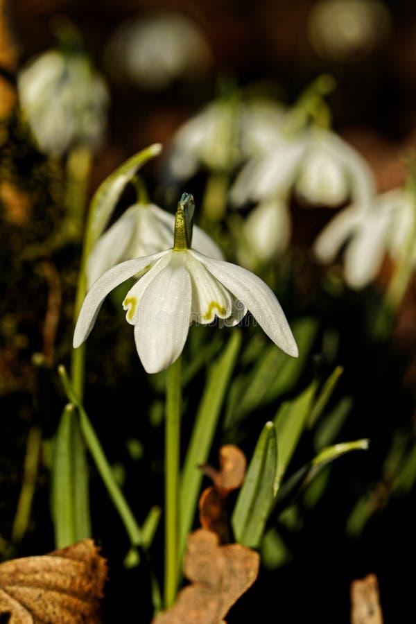 狂放的春天雪花在森林里 库存图片
