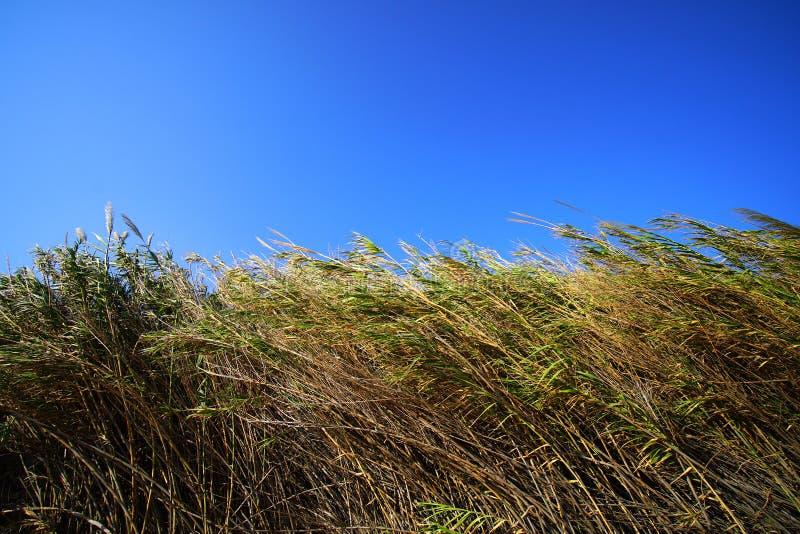 狂放的芦苇由melteni抨击了吹在米科诺斯岛的风 免版税库存图片