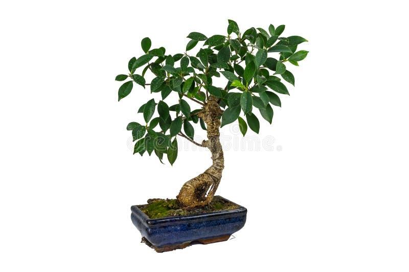 盆景,榕属retusa,在一个大理石罐,隔绝,在白色背景 下落绿色留下本质水 室内植物 库存照片
