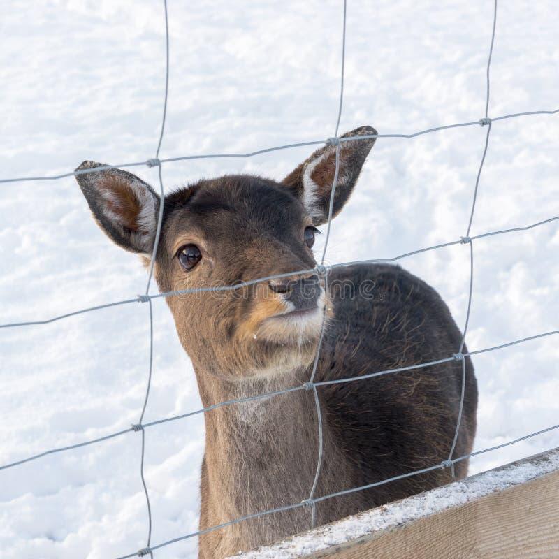 白被盯梢的鹿,空齿鹿属virginianus,在小鹿的耳朵-捕获的动物后的嗅 库存照片