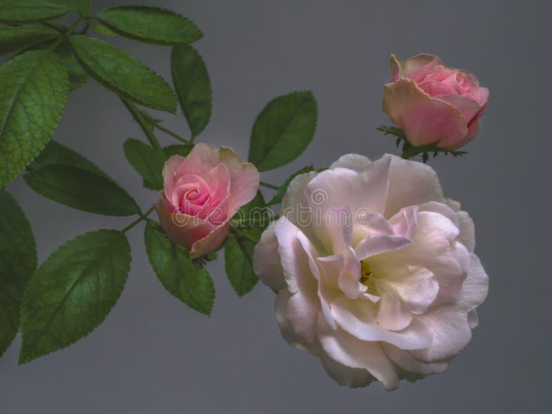白色三朵的玫瑰和在灰色背景的桃红色绿色叶子 免版税库存图片