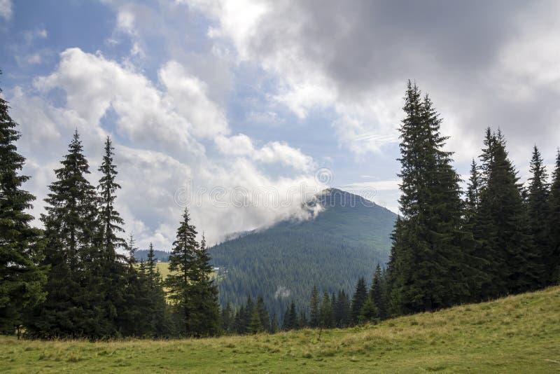 白色云彩全景视图在山与绿色云杉的森林和冷杉木顶部的在象草的草甸在好日子 夏天 免版税图库摄影