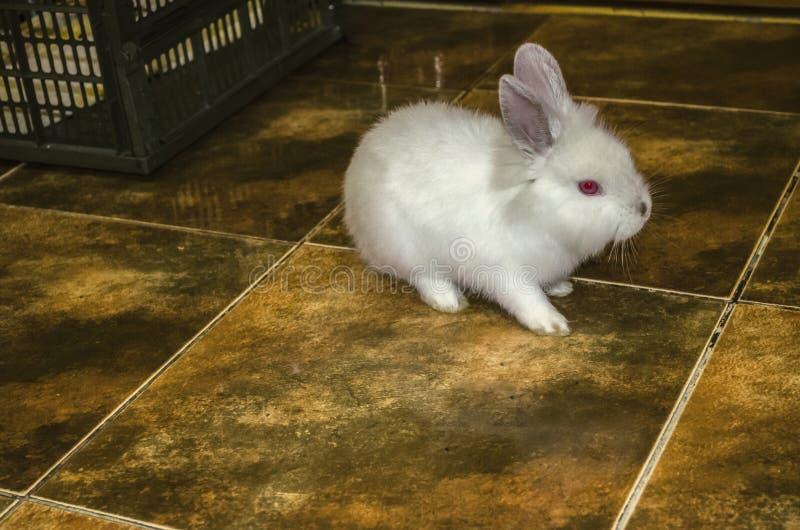 白色小兔子从他的笼子逃脱了并且坐在公寓的地板 库存照片