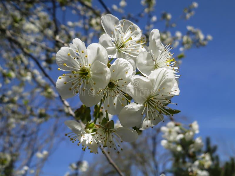 白色樱桃花特写镜头在春天开花 很多白花在晴朗的春日 免版税图库摄影