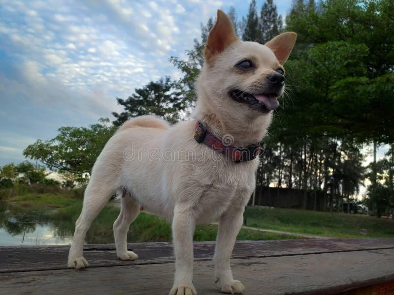 白色Pomeranian小狗在泰国在夏天 库存图片