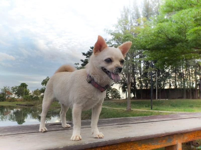 白色Pomeranian小狗在泰国在夏天 库存照片