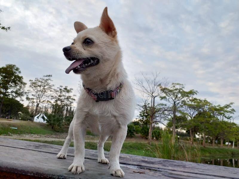 白色Pomeranian小狗在泰国在夏天 免版税图库摄影