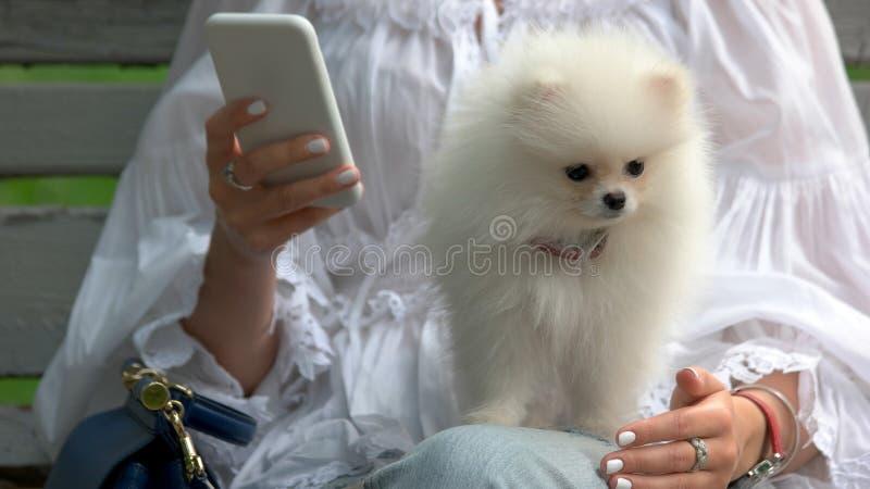 白色pomeranian波美丝毛狗坐女性膝盖 免版税库存照片