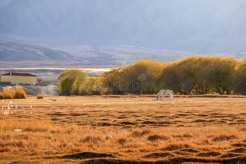 白马和小的村庄雪山的脚的在帕米尔高原秋天的 免版税图库摄影