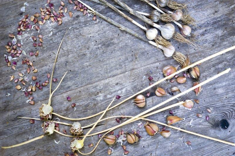 紧密,干燥大蒜电灯泡,丁香,白色,橙色,紫色颜色,土气木桌背景顶面射击,有选择性 库存照片