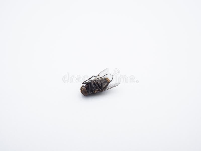 紧密-在白色背景的一只死的共同的家蝇昆虫 免版税库存图片