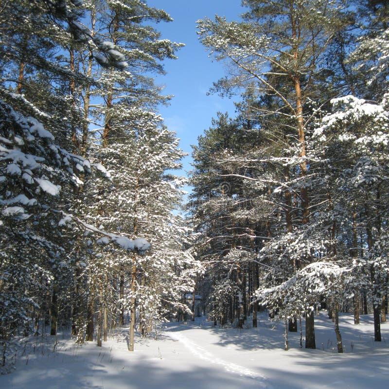 用天空蔚蓝盖的冬天森林 图库摄影