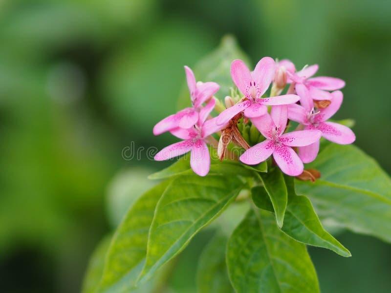 紫罗兰色花开花Pseuderanthemum andersonii林道具刺美好的花束迷离背景空间为写道 库存照片