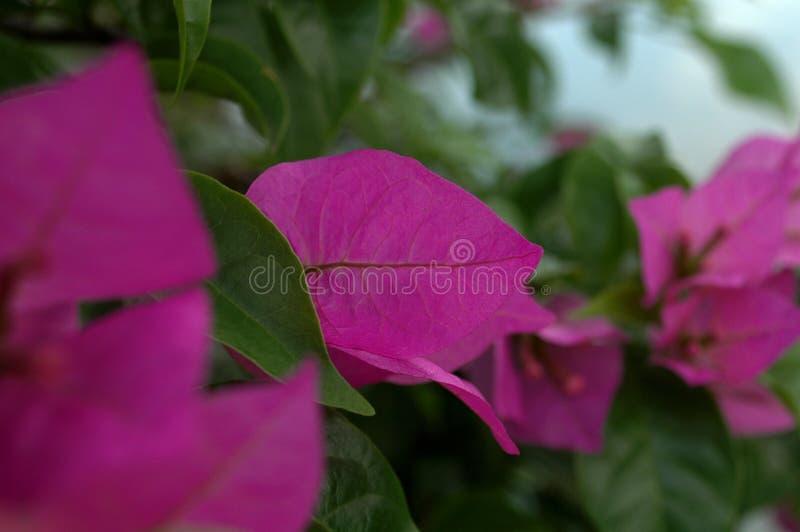 紫色粉红色纸花绽放 免版税库存图片