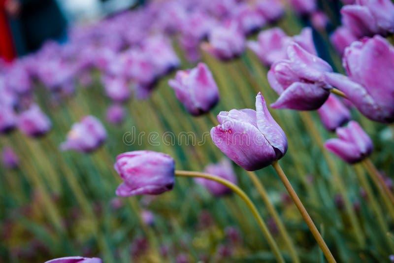 紫色郁金香领域的接近的射击在郁金香时间节日期间的在荷兰密执安 库存图片
