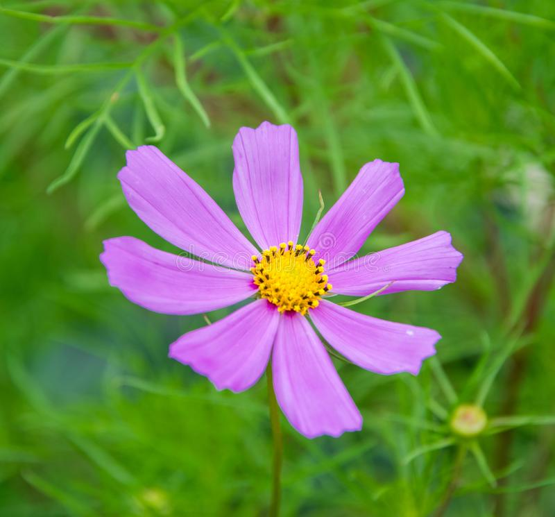 紫色,桃红色,波斯菊花在绿色背景的庭院里 桃红色波斯菊花的关闭作为背景 免版税库存照片