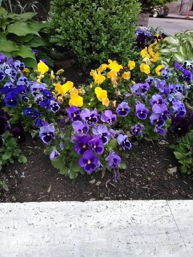紫色,蓝色和黄色蝴蝶花 库存照片