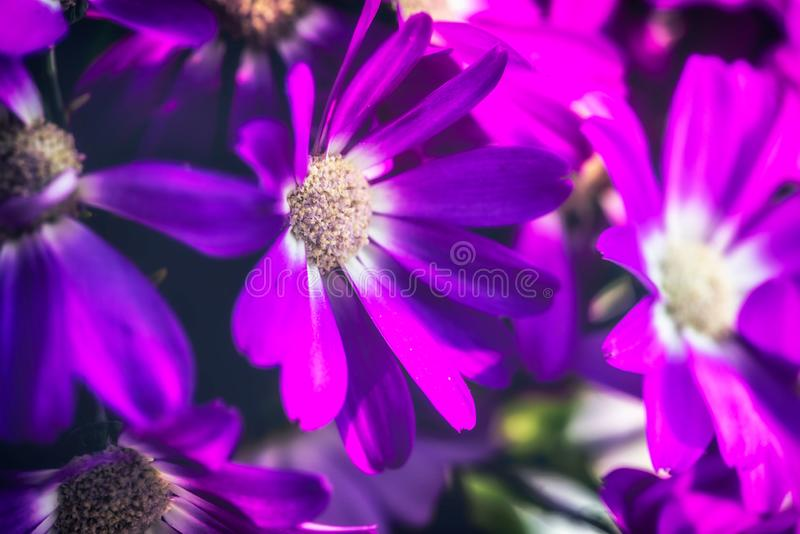 紫色1 Pericallis hybrida 免版税库存图片