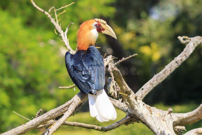 男性布莱斯的犀鸟Rhyticeros plicatus的特写镜头画象或者Papuan犀鸟在一个绿色森林里 免版税库存照片