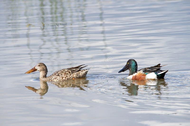 男性和母琵嘴鸭鸭子在浅水区 免版税库存照片
