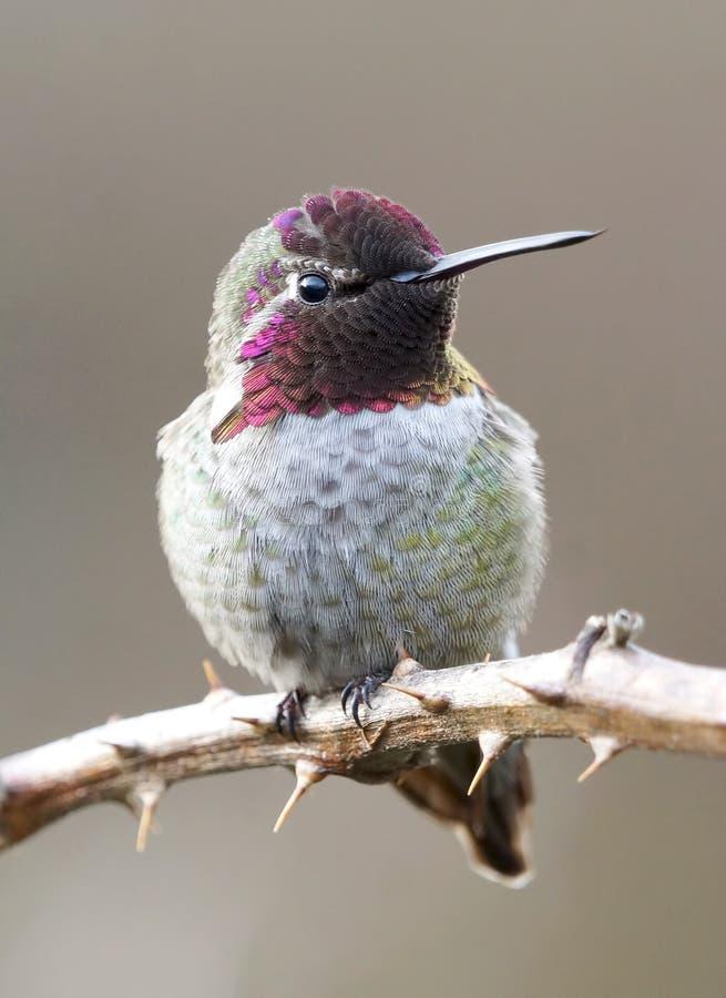 男性Annas蜂鸟在藤栖息 免版税库存照片