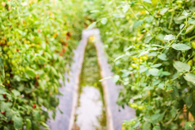 生长在庭院里的西红柿 免版税库存照片