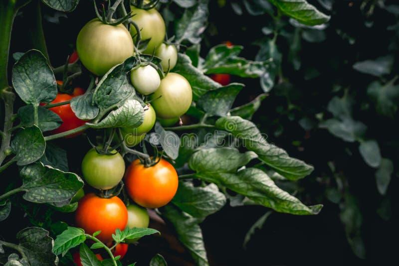 生长在植物的红色和绿色蕃茄 图库摄影