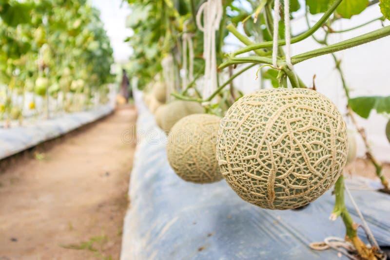 生长在温室庭院里的新鲜的绿色日本甜瓜瓜植物 免版税库存照片