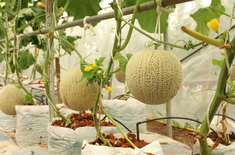 生长在温室农场的新鲜的甜瓜瓜植物 库存图片