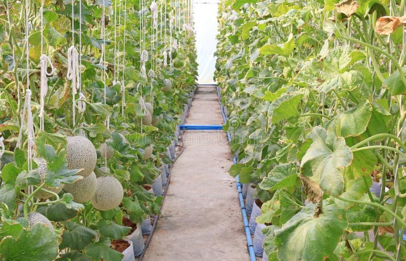 生长自温室的日本瓜或绿色瓜或者甜瓜瓜植物年轻新芽支持由串瓜网 免版税图库摄影