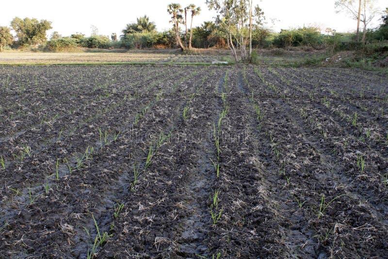 甘蔗领域增长的阶段 库存照片