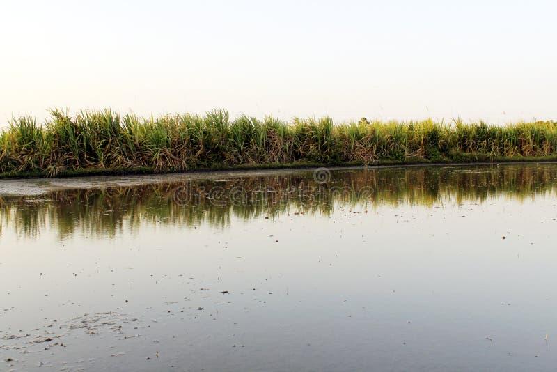 甘蔗领域起点 免版税库存图片