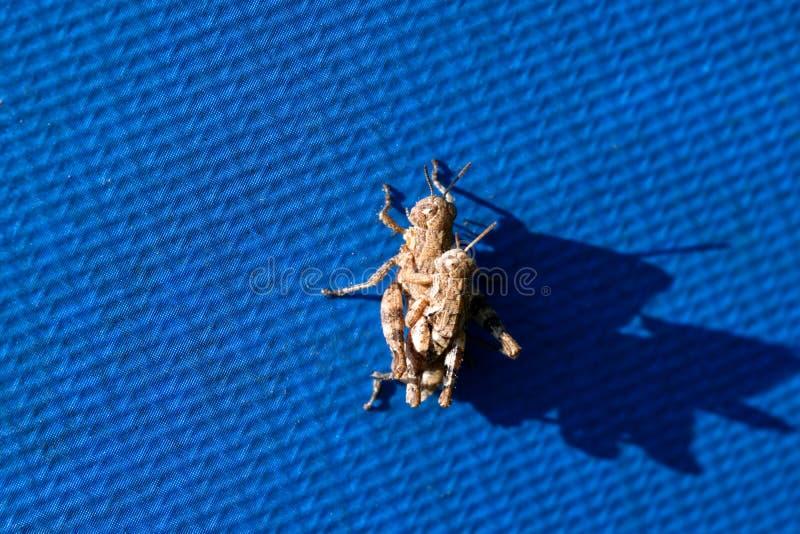 联接蓝色织地不很细表面上的两只棕色蚂蚱 库存照片