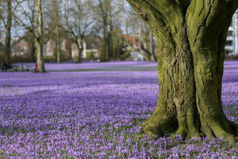 草甸充满淡紫色crocusses 库存照片