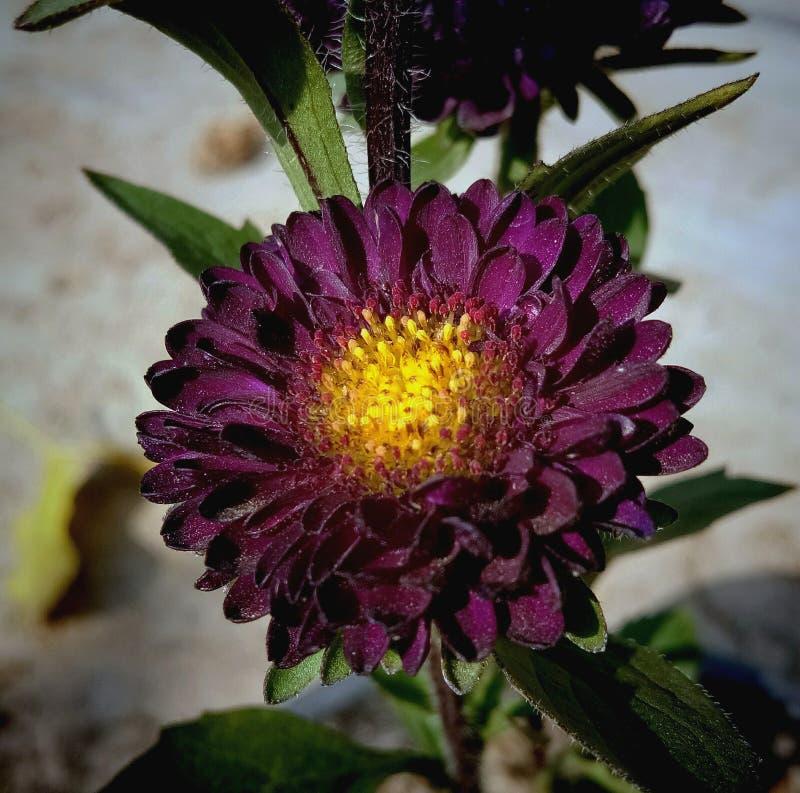菊花,Guldaudi褐红的颜色在庭院里 免版税库存照片