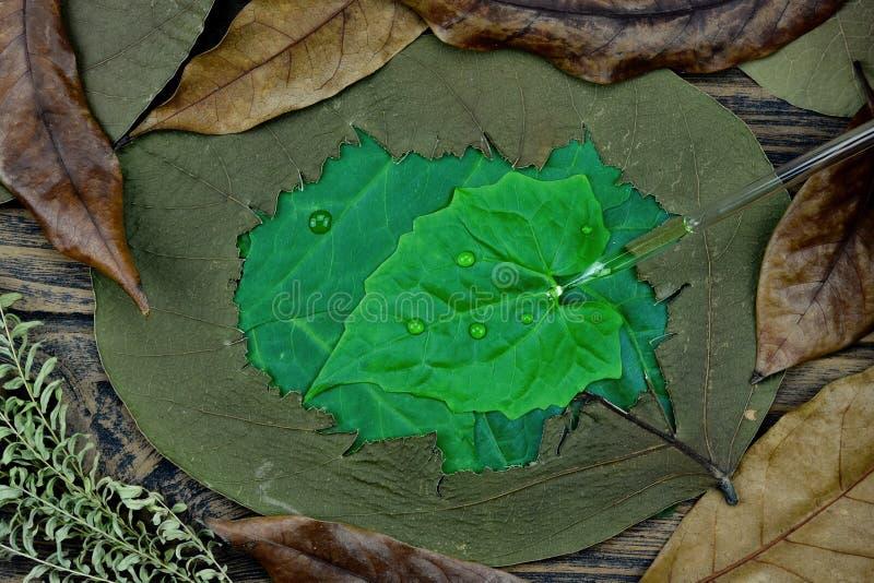 落下在干燥损伤叶子,Skincare和化妆用品公式化中的新鲜的绿色叶子的自然被净化的油 免版税库存图片
