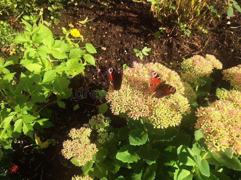 蝴蝶昆虫坐夏天花 阳光, 免版税图库摄影