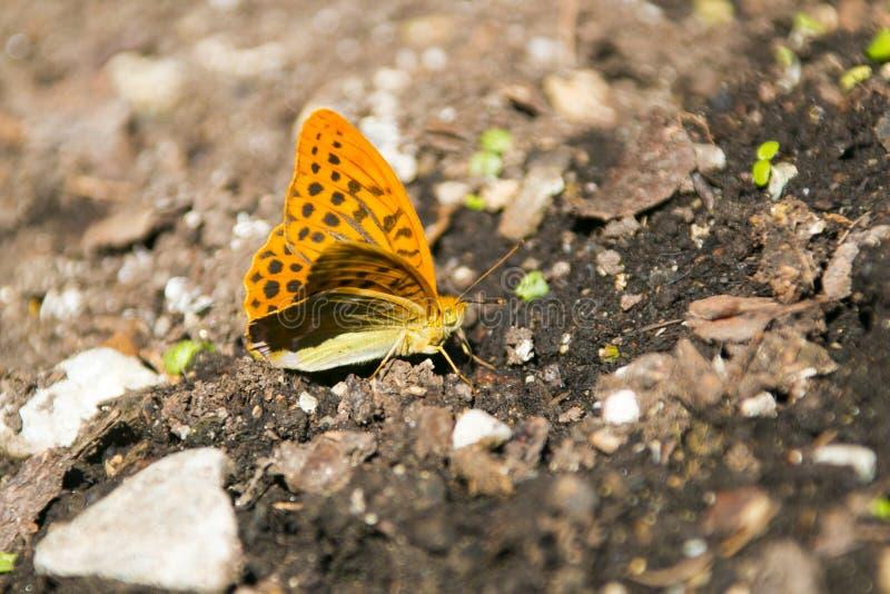 蝴蝶被洗涤的贝母银 免版税库存照片
