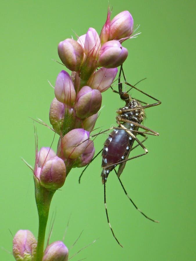 血液在一棵桃红色植物的狼吞虎咽的蚊子 免版税图库摄影