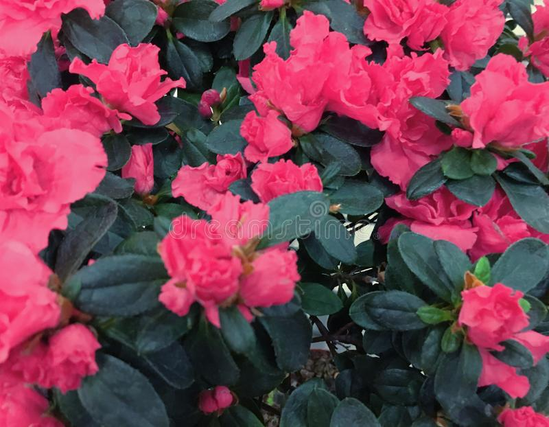 被弄脏的杜鹃花桃红色花新开花在早晨光 桃红色杜鹃花花 杜鹃花花纹花样 图库摄影