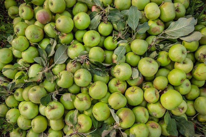 被损坏的绿色苹果在叶子中的地面上说谎在庭院里 库存图片