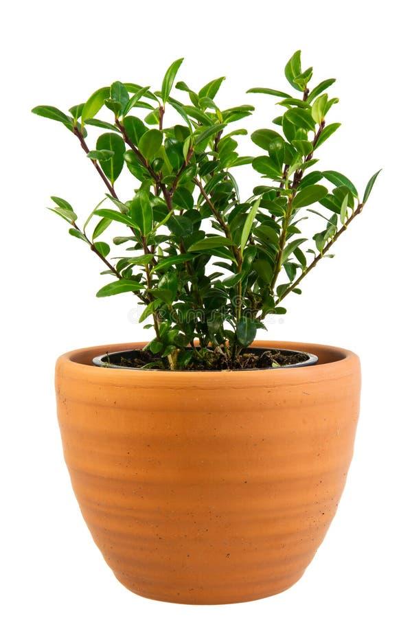 被隔绝的盆的冬青属crenata灌木 免版税库存图片