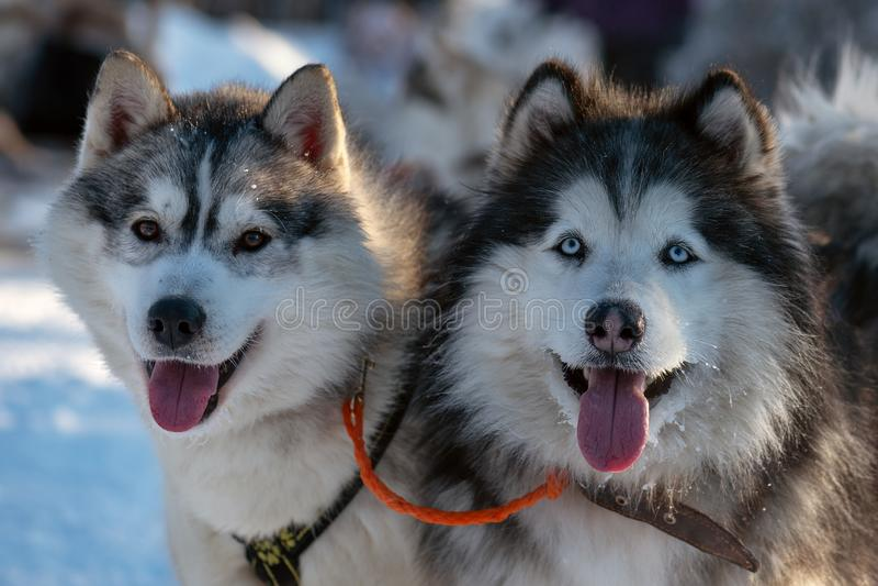 西伯利亚爱斯基摩人狗接近的画象  免版税图库摄影