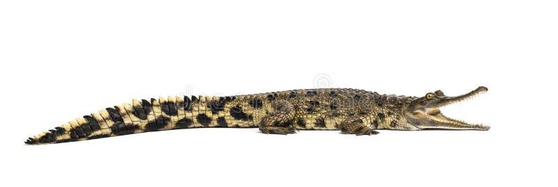西非苗条装管嘴的鳄鱼,3岁,被隔绝 免版税库存照片
