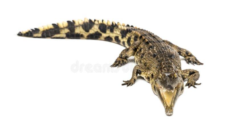西非苗条装管嘴的鳄鱼,3岁,被隔绝 库存图片