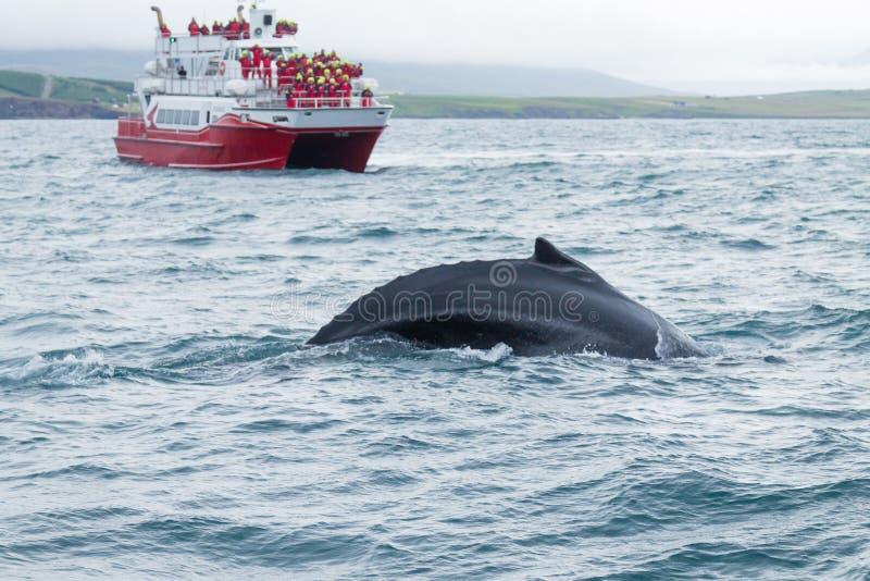 观看从阿克雷里,冰岛的鲸鱼 鲸鱼本质上 免版税库存照片