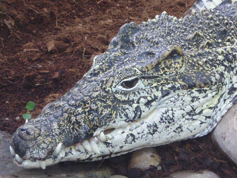 观看worl的古巴鳄鱼路过 免版税库存照片