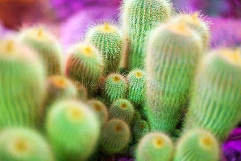 许多在明亮的紫罗兰色背景,仙人掌的绿色仙人掌顶视图宏指令的被弄脏的背景关闭 免版税库存照片